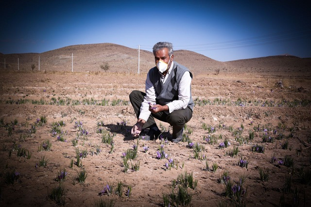 Farmer picking Saffron
